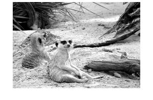 meercats_250