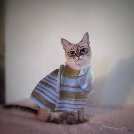 #TheDress, modeled by Sauerkraut of the Central Oklahoma Humane Society
